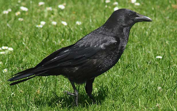 чёрный ворон птица фото
